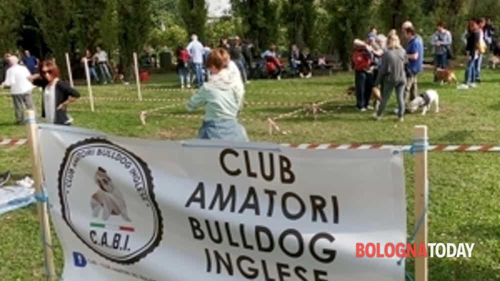 record italiano per il 22° #bulldogday del cabi, a bologna ben 230 bulldog inglesi da tutta italia-9