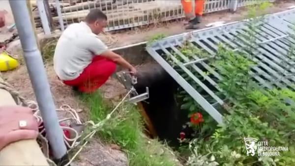 VIDEO| Tasso trascinato dalle acque del Reno: il salvataggio dei sommozzatori