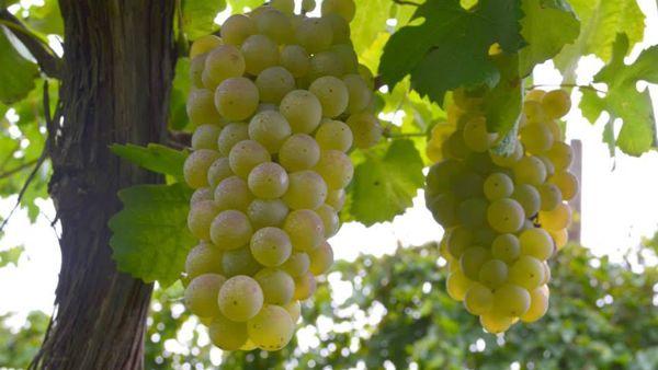 Rocca di Dozza: all'Enoteca Regionale si degusta 'l'Uva rambela'