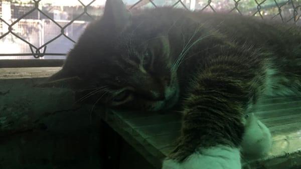 Pasquino gatto-2