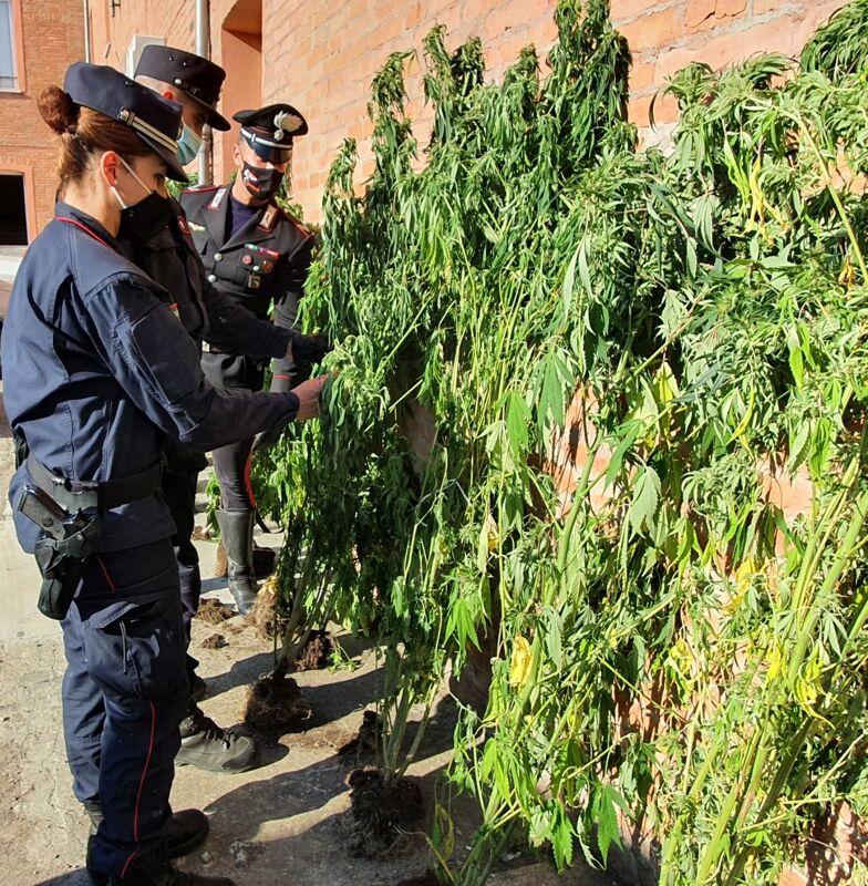 Blitz in azienda specializzata in cannabis light, scovata piantagione illegale di marijuana